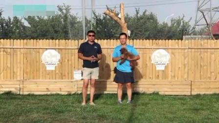 史宾格犬打猎视频 怎么训金毛握手 惠比特犬多大开始训练