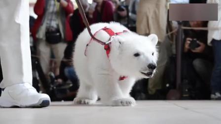 小北极熊被牵着遛弯儿, 它也沦落到卖萌求生啦