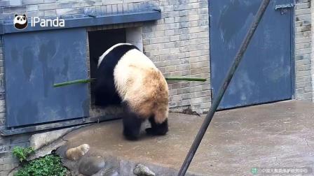 看熊猫怎么把长竹子拿进窝的