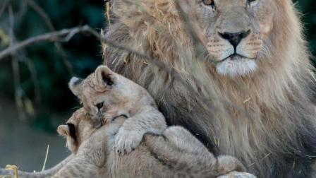 5岁女孩被狮子当场咬住, 母亲还在旁边笑!