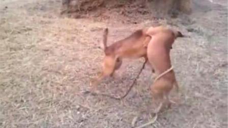 千万别惹发疯的土狗, 就是犬比特也被疯土狗撕咬的狂叫!