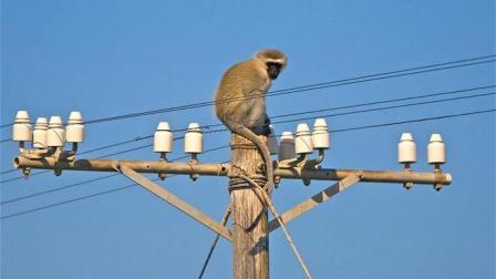 一只猴子爬到高压电线上, 下一秒电变成了火猴!