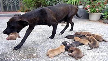 为什么有的狗狗生完孩子后, 会立马把狗崽子吃掉?