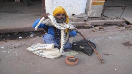 为什么剧毒眼镜蛇不攻击印度人? 说出来吓死你