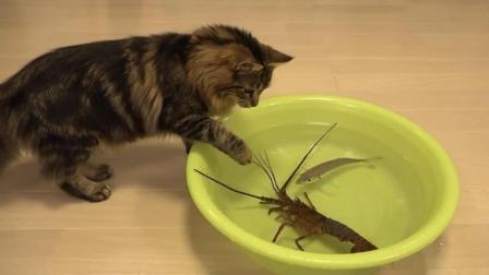 喵星人大战小龙虾, 叫兄弟们来帮忙, 结果全是胆小鬼