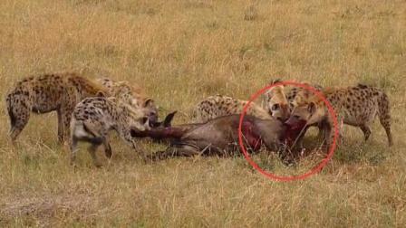 非洲鬣狗活吃落单母牛, 啃食肠子野牛嘶吼, 鬣狗不会放过每一份美食