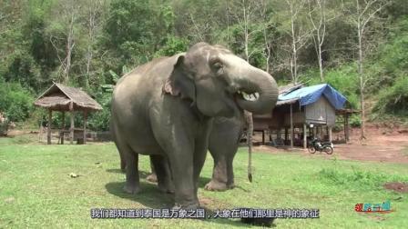 象屎咖啡来之不易, 泰国人强行给大象灌咖啡豆, 造成很多大象死亡