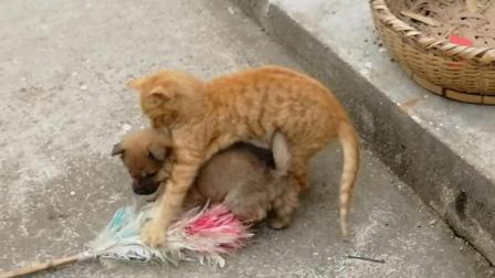 猫狗大战! 大黄猫老使左勾拳, 气得小黄狗龇牙跳筐!