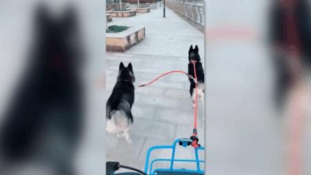 遛狗的正确方式? 幸亏主人跳车早, 不然下一秒就要遭殃