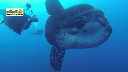 海中老司机—翻车鱼, 世界上最大、形状最奇特的鱼之一, 潜水员在其跟前就跟小布丁一样