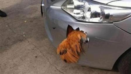 男子开车撞到鸡, 车坏了鸡却没事, 网友: 传说中的铁公鸡?