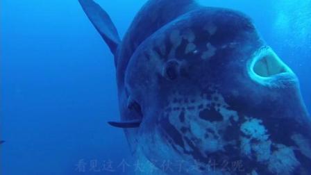海洋中形状最奇特的动物-翻车鱼, 被评为一半是鱼, 一半是人
