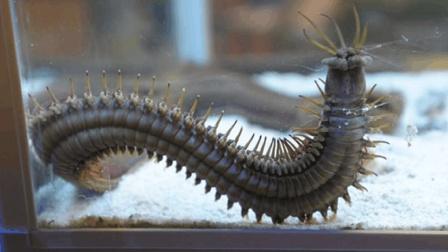海底最可怕的虫子, 就像放大100倍的蜈蚣, 人被咬一口痛一辈子