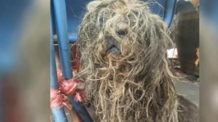 几年没剃毛, 这个流浪狗就像一堆茅草, 获救后焕然一新