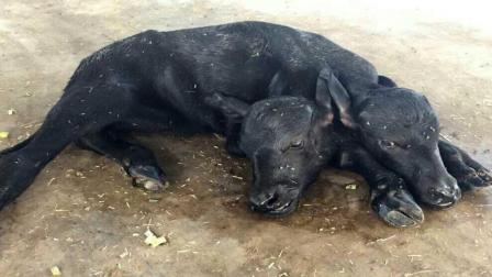 印度出现双头牛, 还活了下来, 平时怎么进食的?