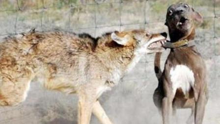 比特犬和狼交锋, 没多久就被狼按在地上, 哇哇直叫