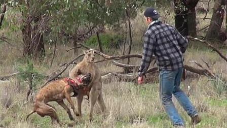 爱犬被袋鼠锁喉, 男子一拳将袋鼠打懵!