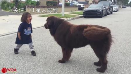 当大狗遇到萌娃, 啥反应? 特别最后那只藏獒!