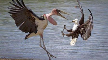 老鹰的利爪直接抓碎冰面, 冰下的鱼还是难逃捕食