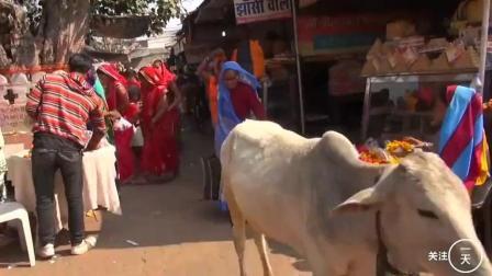 中国人在印度, 实拍印度神牛满街走, 印度人均拥有量世界第一