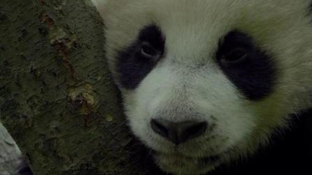 BBC地球影业最新纪录片《神奇的一天》野生大熊猫登场! 萌萌哒!