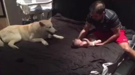 男主人假装要伤害小婴儿, 接下来二哈的行为, 让主人很暖心