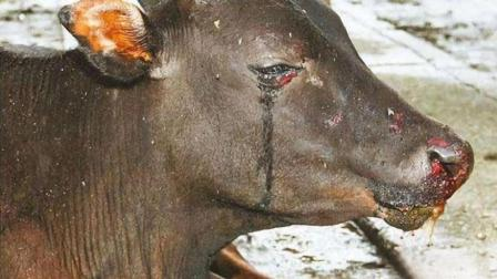 农村杀牛的时候, 牛为什么会哭?