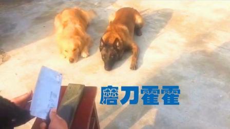 萌宠TOP5: 牛牛王子把全村的狗打得不敢出门, 村长怒了, 结果笑喷