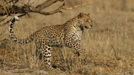 猎物逆袭, 花豹猎角马不成反遭顶飞, 非洲大猫捕猎失败集锦