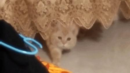 小猫咪眨着乌溜溜的小眼睛躲在窗帘里, 这完美的保护色怪不得主人怎么找都找不到