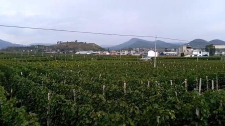 """走进""""中国葡萄之乡""""云南大理宾川, 乡村道路两旁搭满葡萄架, 满眼绿意惹人醉"""