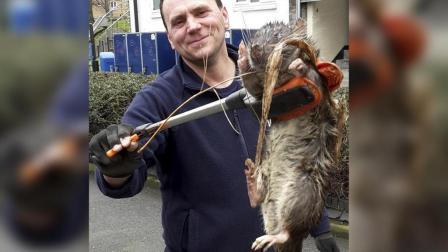英国男子抓到巨大老鼠, 体长进80公分, 是长了多久?
