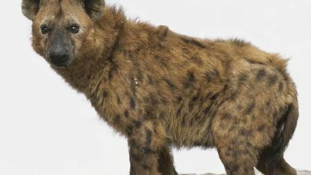 动物世界 鬣狗吃狮子 人与自然 在线观看