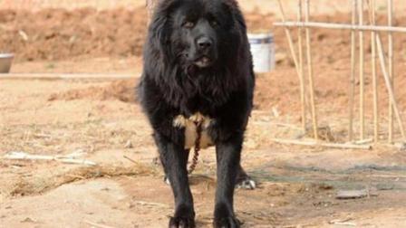 世界最大的北美灰狼, 体重达180斤, 能瞬间秒杀藏獒