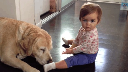 小宝宝把拉布拉多犬当成了最好的玩伴, 还揪着狗狗的耳朵要和狗狗说悄悄话