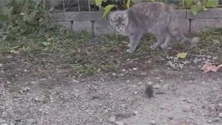 猫咪正在逗自己的宠物, 一只老鼠, 结果来了一只另类的鸡!