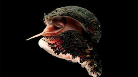 世界上外壳最硬的蜗牛, 子弹打不穿, 网友: 自带反甲!
