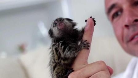 你不会相信世界上最小的猴子仅有13克! 还没有蚕豆大!