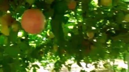百香果树是这样的