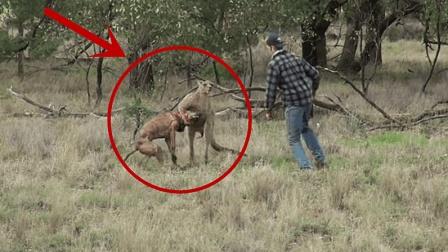 男子为了救自己的狗, 竟打了袋鼠一个耳光! 袋鼠的反应亮了!