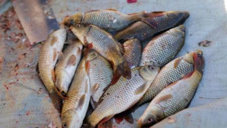 鲤鱼最好吃的做法, 越吃越上瘾, 姑娘一次秘制12条不够吃, 真美味
