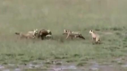 鬣狗和野狗大战, 鬣狗最终败下阵来, 只能被吃掉了!