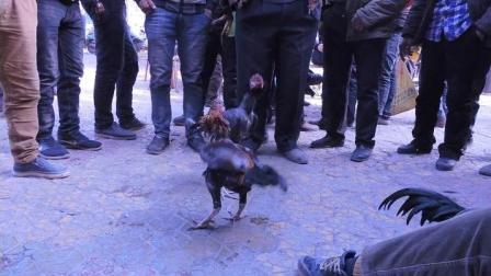 实拍新疆喀什热闹奇特的斗鸡的巴扎