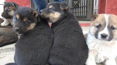 2条母狗不在了, 留下了这群可爱的小狗!