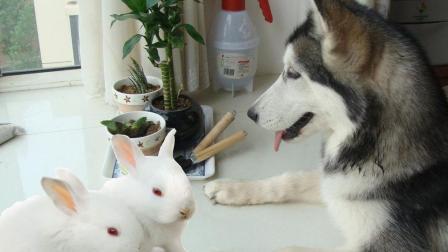 哈士奇在家带兔子, 又幽默又搞笑