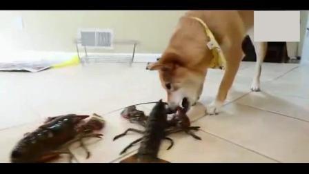 拿两只大龙虾喂家里的柴犬, 这家主人也太壕了吧