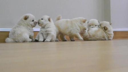 小时候的松狮犬和长大的差别也太大了! 小时候就是会动的毛绒玩具啊!