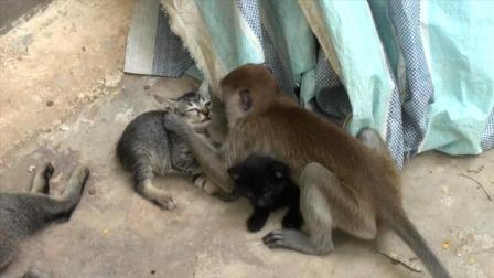 """一只猴子闯进喵星人家里, 开始""""折腾""""小猫"""