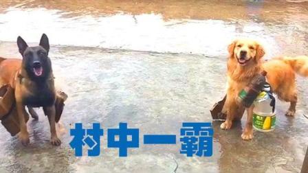 """萌宠TOP5: 主人一句""""王子被打了"""", 马犬瞬间破门而出, 飞奔战场"""