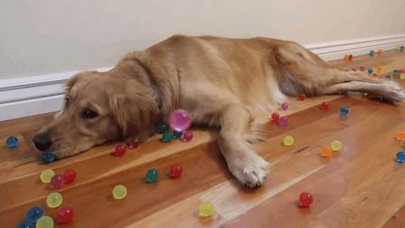贪玩的金毛狗狗, 你咋这么喜欢玩珠子呢? 看到主人倒出一大袋珠子就兴奋的不得了